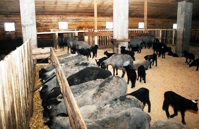 Овцы на мясо в домашних условиях 268