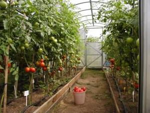 Вирашиванние фруктов и овощей в теплице