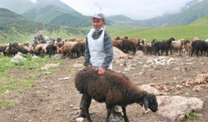 Вакцинация овец и коз против бруцеллеза