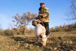 Сбор трюфелей с помощью животных