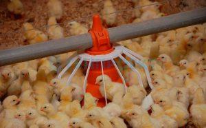 Птичник для цыплят