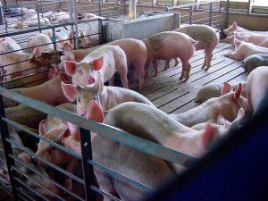 Клеточный способ содержания свиней