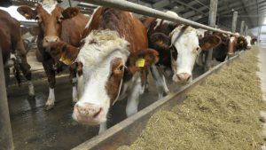 Развитие молочного скотоводства