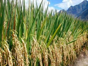 Продукция растениеводства на стадии дозревания
