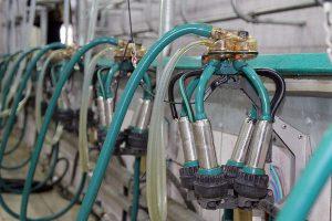Обилие технологий молочного скотоводства