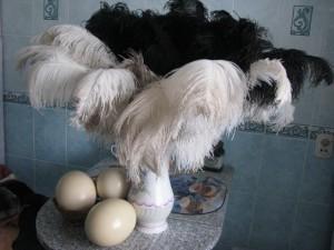 Страусовые перья с яйцами