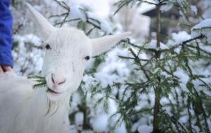 Выгул коз зимой
