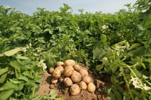 Картофель в рационе человека