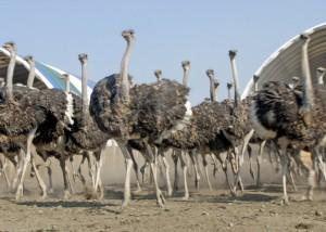 Особенности страусов