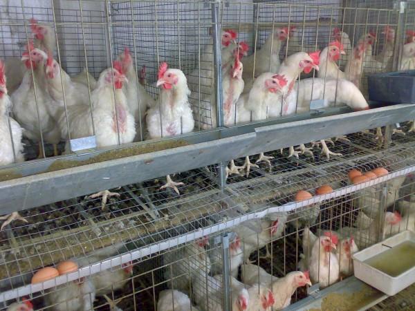 Ферма своими руками птицы