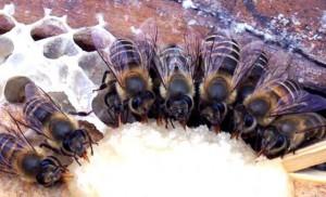 Кормление пчел зимой