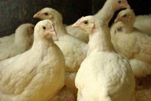 Цыплята бройлеров
