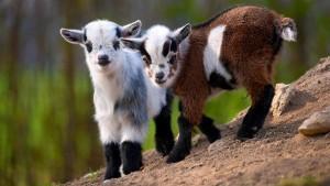 Порода карликовых коз