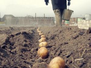 В какую погоду лучше всего сажать картофель