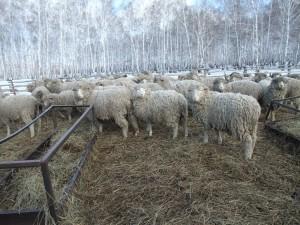 Ферма по разведению овец