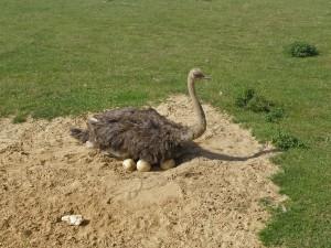 Самка африканского страуса откладывает яйца