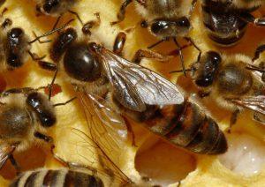 Плодная пчеломатка на сотах