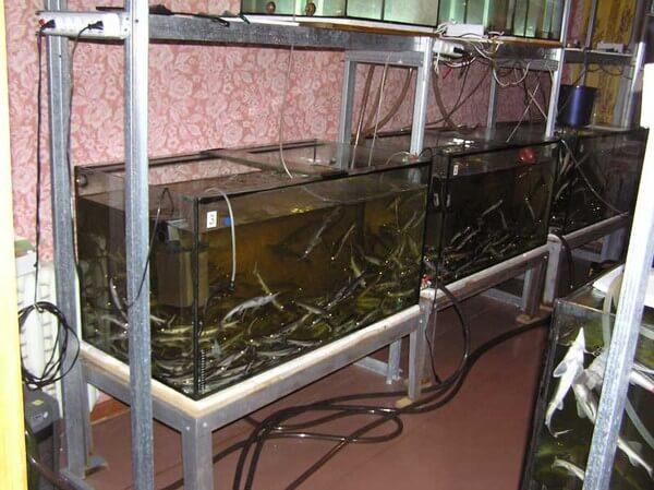 Выращивание рыбок в домашних условиях