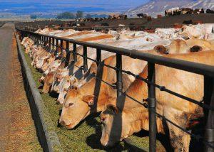 Коровья ферма