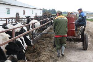 Раздача коровам на ферме патоки