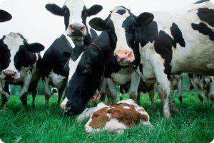 Коровы на пастбище с теленком