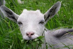 Коза ест свежую траву