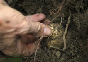 Выращивание трюфелей на грядках