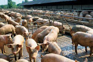 Свиньи в загоне