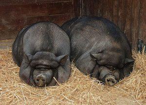 Свиньи лежат на сене