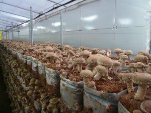 Погреб где выращивают грибы шиитаке