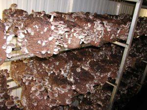 Выращивание грибов шиитаке в домашних условиях
