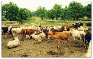 Загон для домашнего разведения коров