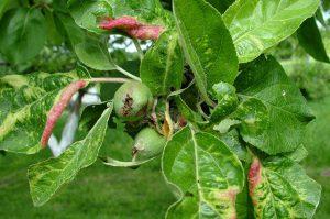 Красногалловая (серая) яблонная тля