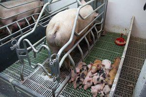 Отбор производительных свиней