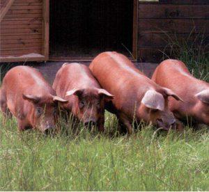 Дюрок — порода свиней