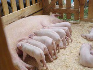 Свиная матка