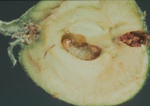 Плодовый пилильщик в яблоке