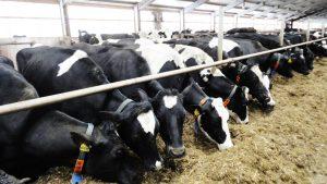 Ферма разведения молочного скота