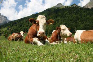 Коровы отдыхают на пастбище