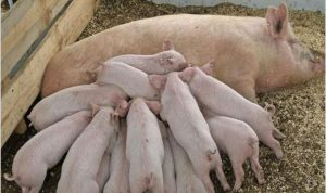 Чистопородное разведение свиней