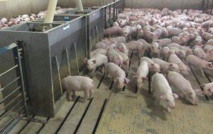 Промышленное выращивание свиней
