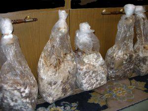 Мицелий для выращивания шиитаке