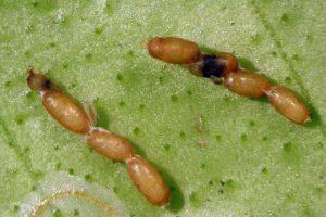 Яйца агениаспис