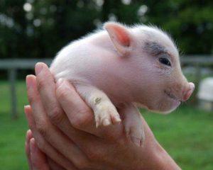 Скрещивания домашних свиней