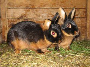 Черно-бурый кролики