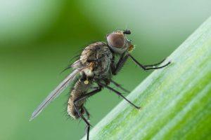 Нутовая минирующая муха