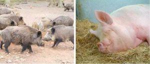 Дикий кабан и домашняя свинья