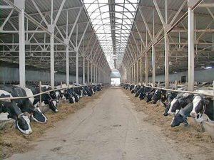 Содержание коров на привязи