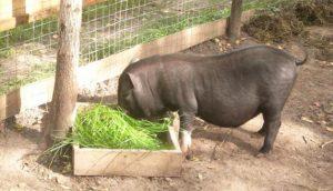 Кормления вьетнамских свиней