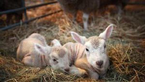 Маленькие ягнята в хлеву на сене